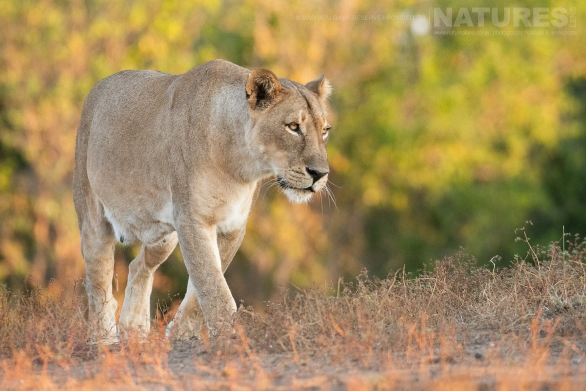 A lioness walks steadily through the grass - photographed at the locations used for the NaturesLens Mashatu, Land of the Giants Photography Holiday