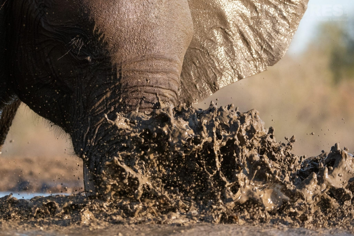 A young elephant plays in mud - photographed at the locations used for the NaturesLens Mashatu, Land of the Giants Photography Holiday