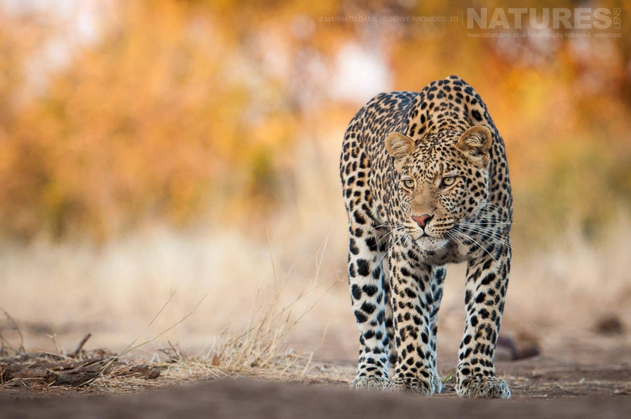 One of the leopards stalks within the reserve – photographed at the locations used for the NaturesLens Mashatu, Land of the Giants Photography Holiday
