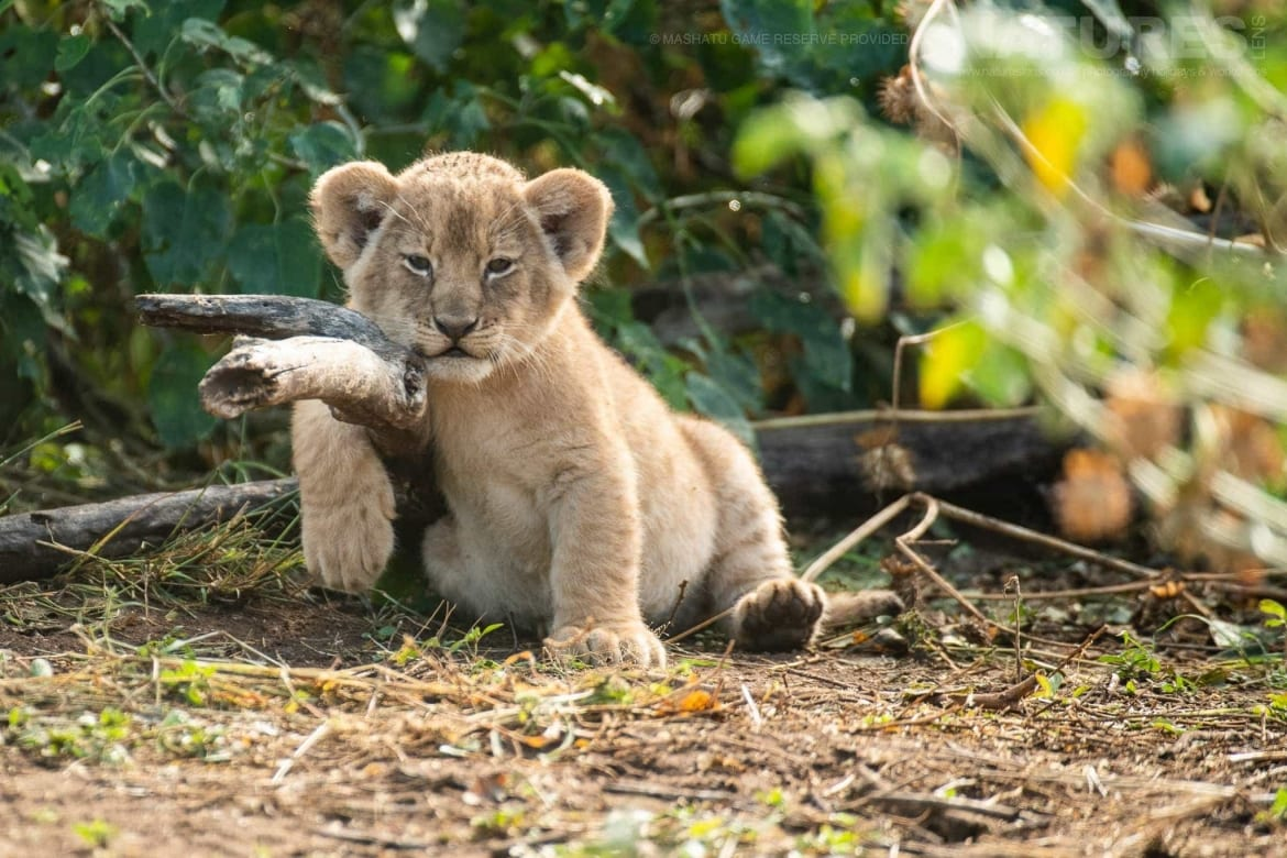 One of the tiny lion cubs of the reserve - photographed at the locations used for the NaturesLens Mashatu, Land of the Giants Photography Holiday