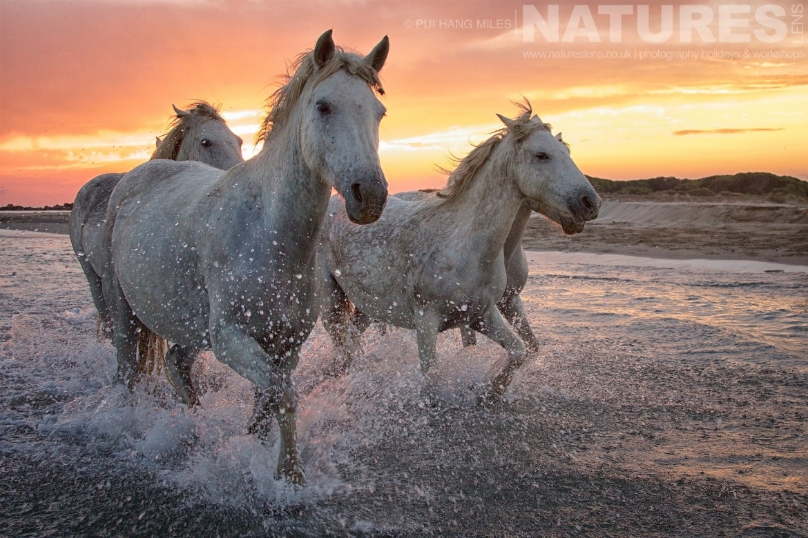 A close up of white horses running in shallow waters at sunset as photographed during the White Horses of the Caamargue Photography Holiday led by NaturesLens