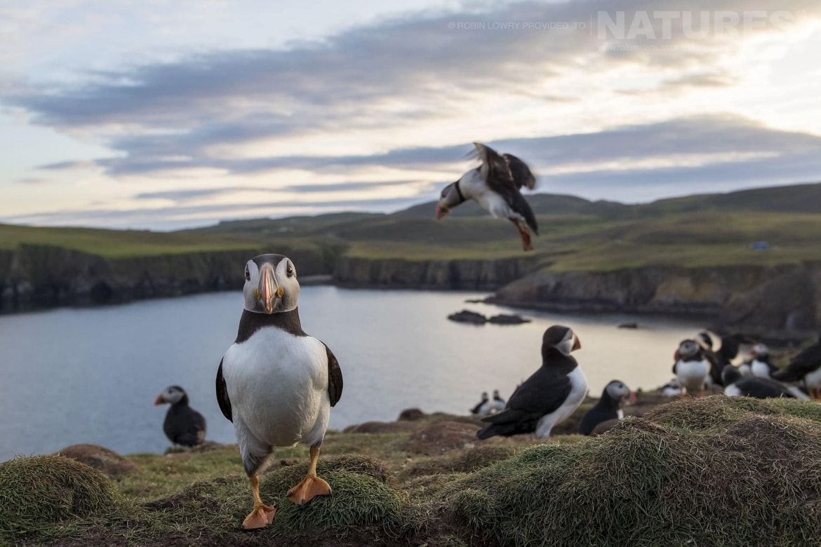 A group of Atlantic Puffins on one of the headlands of Fair Isle photographed during the NaturesLens Shetlands Puffins of Fair isle Photography Holiday