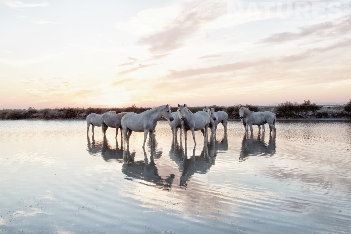 A herd of horses at sunset in high key captured during the White Horses of the Camargue Photography Holiday led by NaturesLens