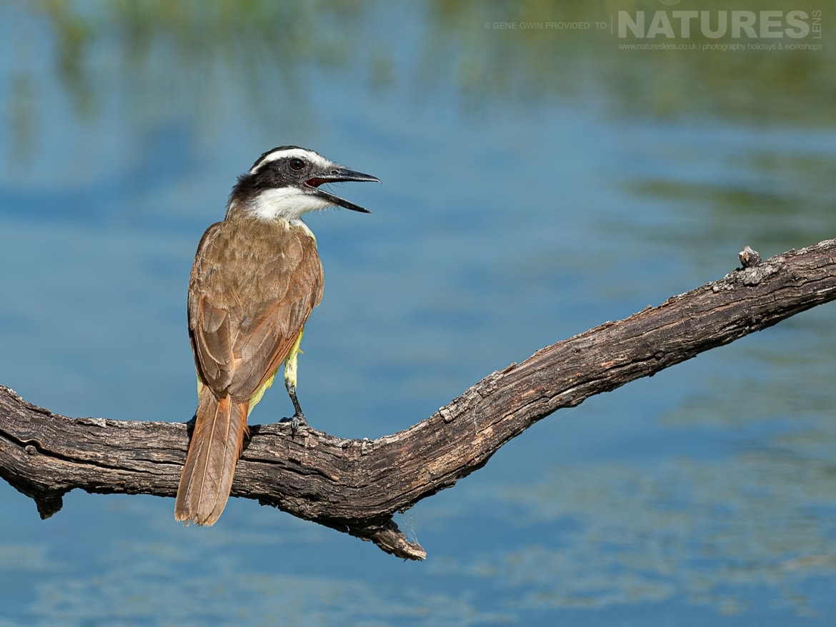 A kingfisher image typical of those that will be captured during the NaturesLens Birdlife of the Rio Grande Valley Photography Holiday