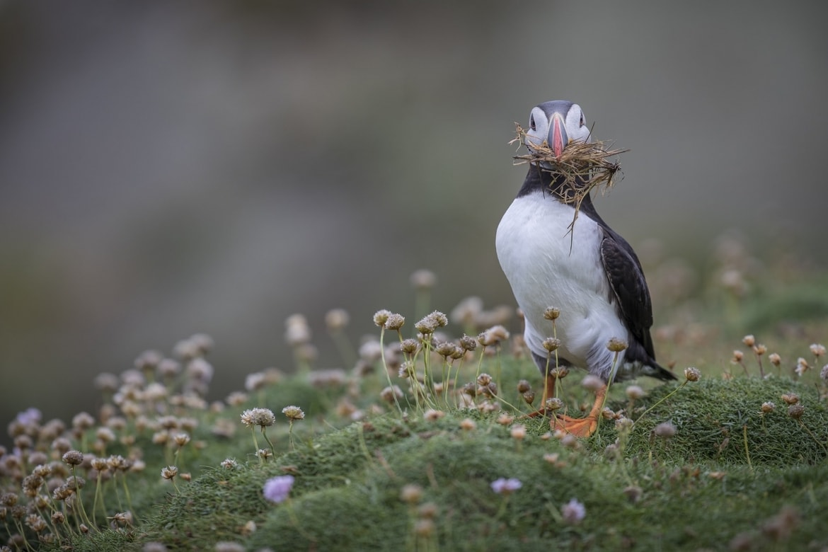 A puffin with a mouth full of nesting material photographed during the NaturesLens Shetlands Puffins of Fair isle Photography Holiday