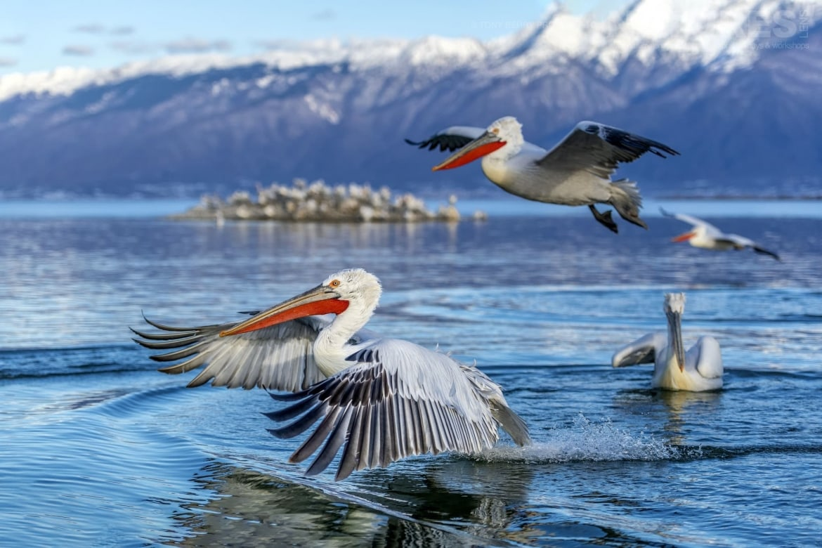 A quartet of Kerkins brilliant Dalamatian Pelicans take off from the lakes surface photographed by Tony Berry during one of the 2019 NaturesLens Dalmatian Pelicans of Lake Kerkini Photography Tours