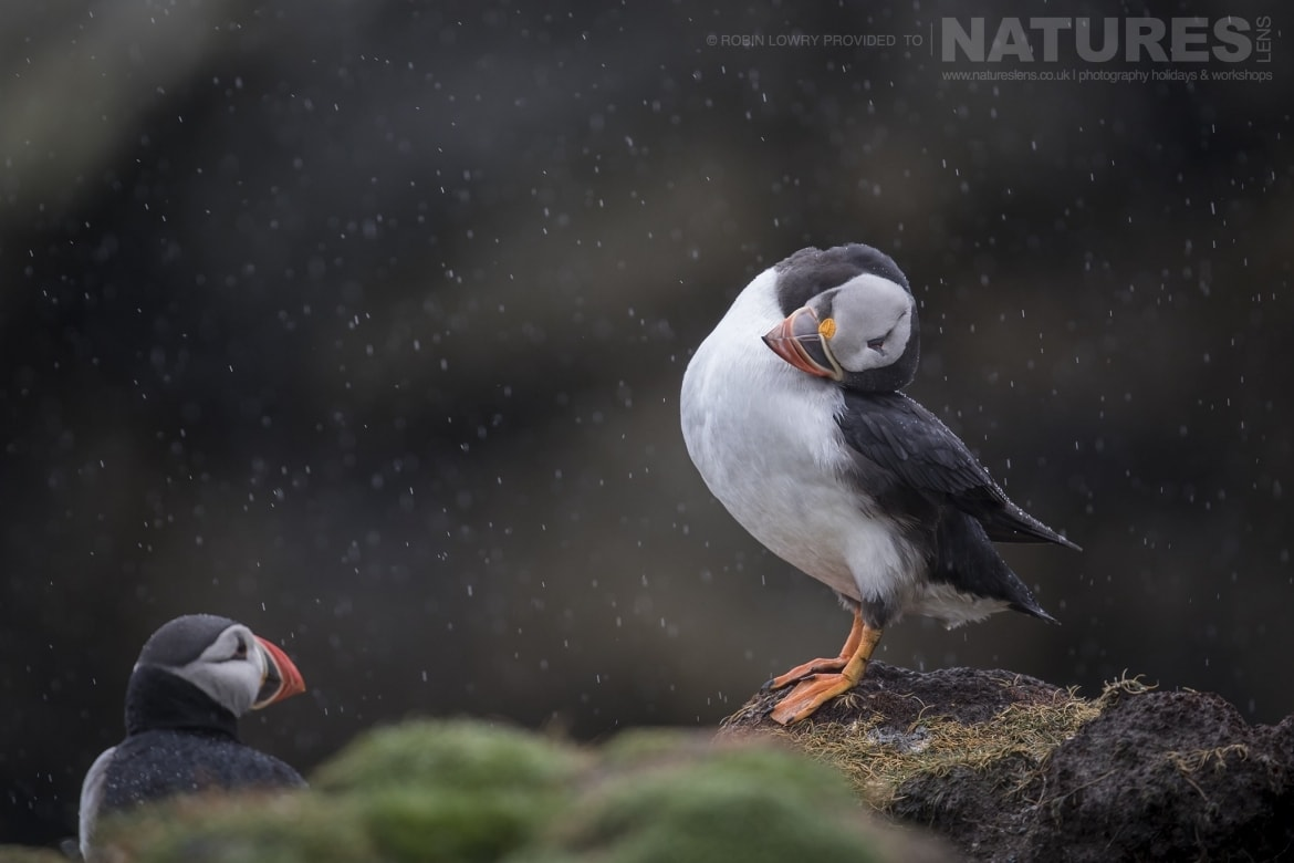 A rainsoaked Atlantic Puffin photographed during the NaturesLens Shetlands Puffins of Fair isle Photography Holiday