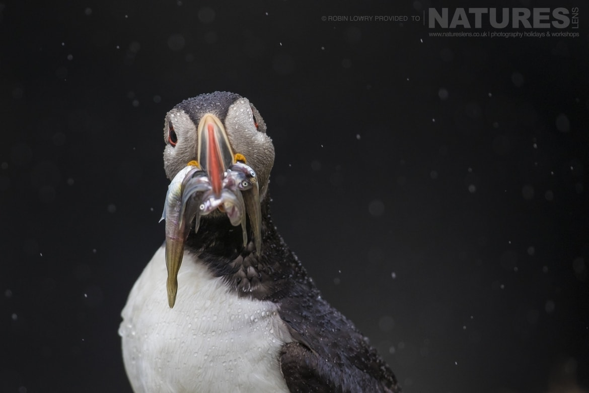 A rainsoaked puffin with a mouth full of sand eels photographed during the NaturesLens Shetlands Puffins of Fair isle Photography Holiday