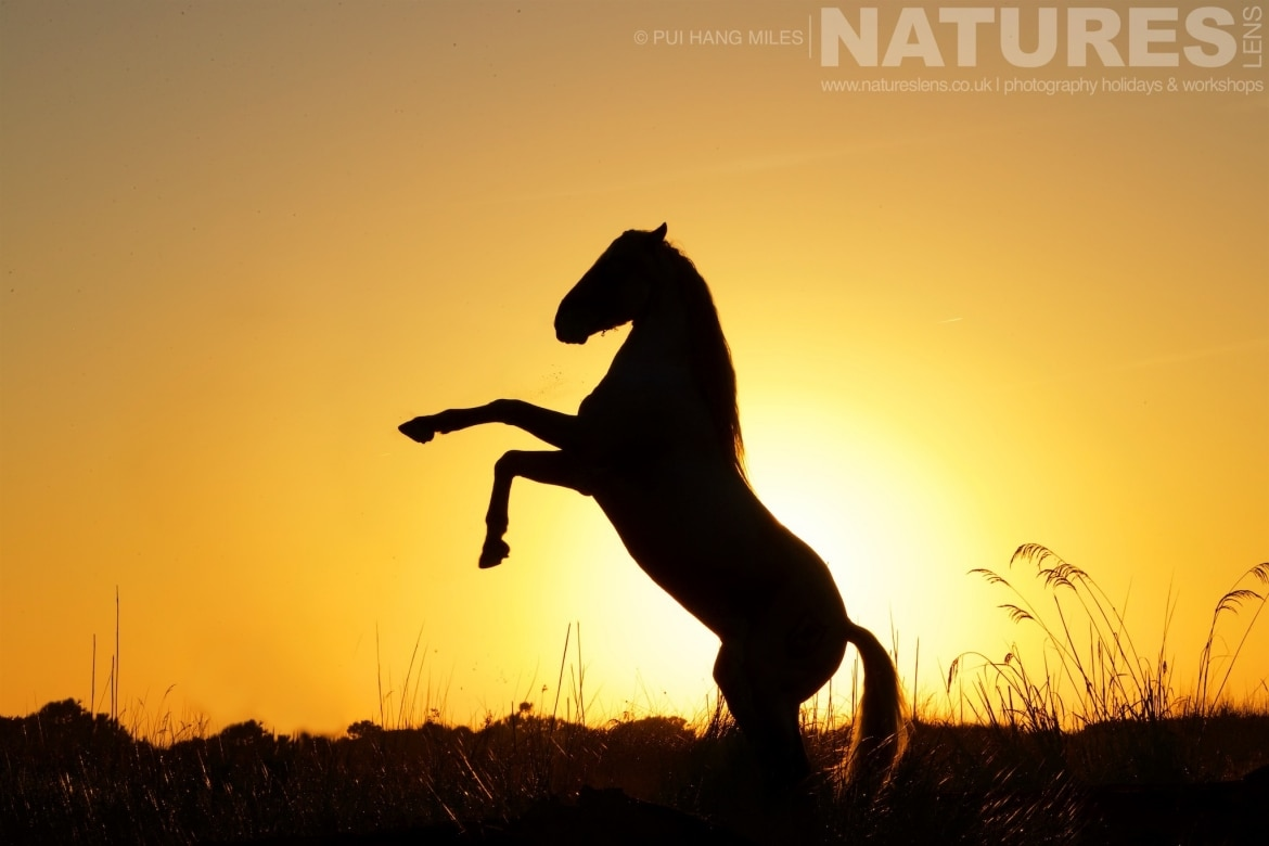 A silhouette of a rearing stallion photographed during the NaturesLens White Horses of the Camargue Photography Holiday