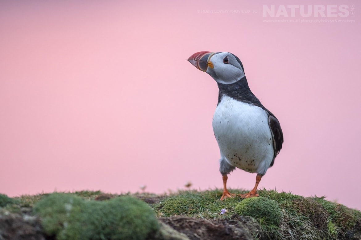 Against an amazing pink sky a puffin stands on one of the headlands of Fair Isle photographed during the NaturesLens Shetlands Puffins of Fair isle Photography Holiday