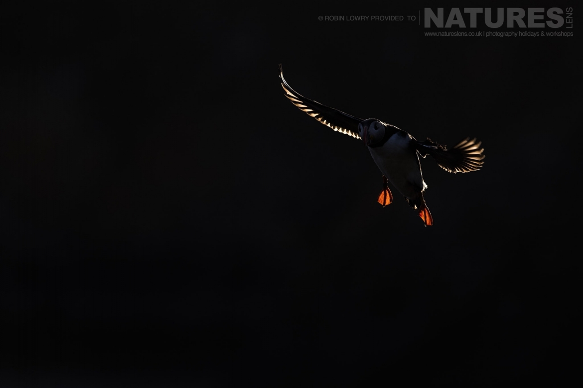 Back lit against the sky one of the puffins comes into land photographed during the NaturesLens Shetlands Puffins of Fair isle Photography Holiday