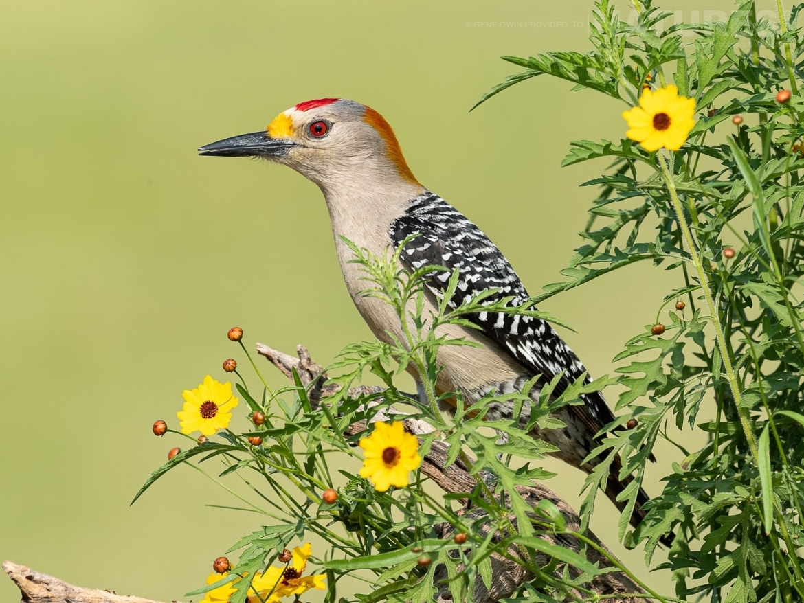 Beautiful woodpecker images should be added to each photographers portfolio during the NaturesLens Birdlife of the Rio Grande Valley Photography Holiday
