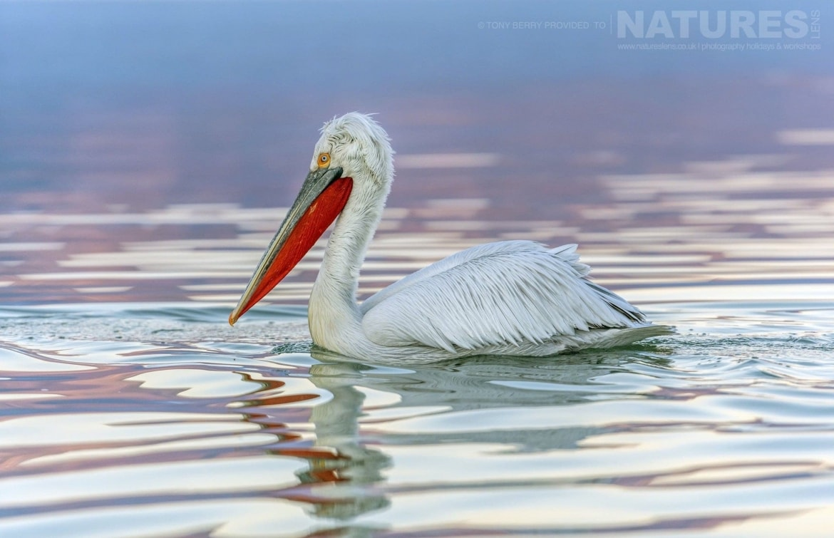 Beautifully reflected in the pinky reflected waters of Lake Kerkini one of the resident Pelicans photographed during one of the 2019 NaturesLens Dalmatian Pelicans of Lake Kerkini Photography Tours