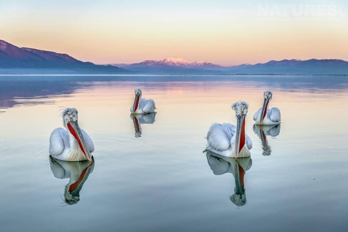 Beautifully reflected in the waters of Kerkini a quartet of the Pelicans photographed by Tony Berry during one of the 2019 NaturesLens Dalmatian Pelicans of Lake Kerkini Photography Tours