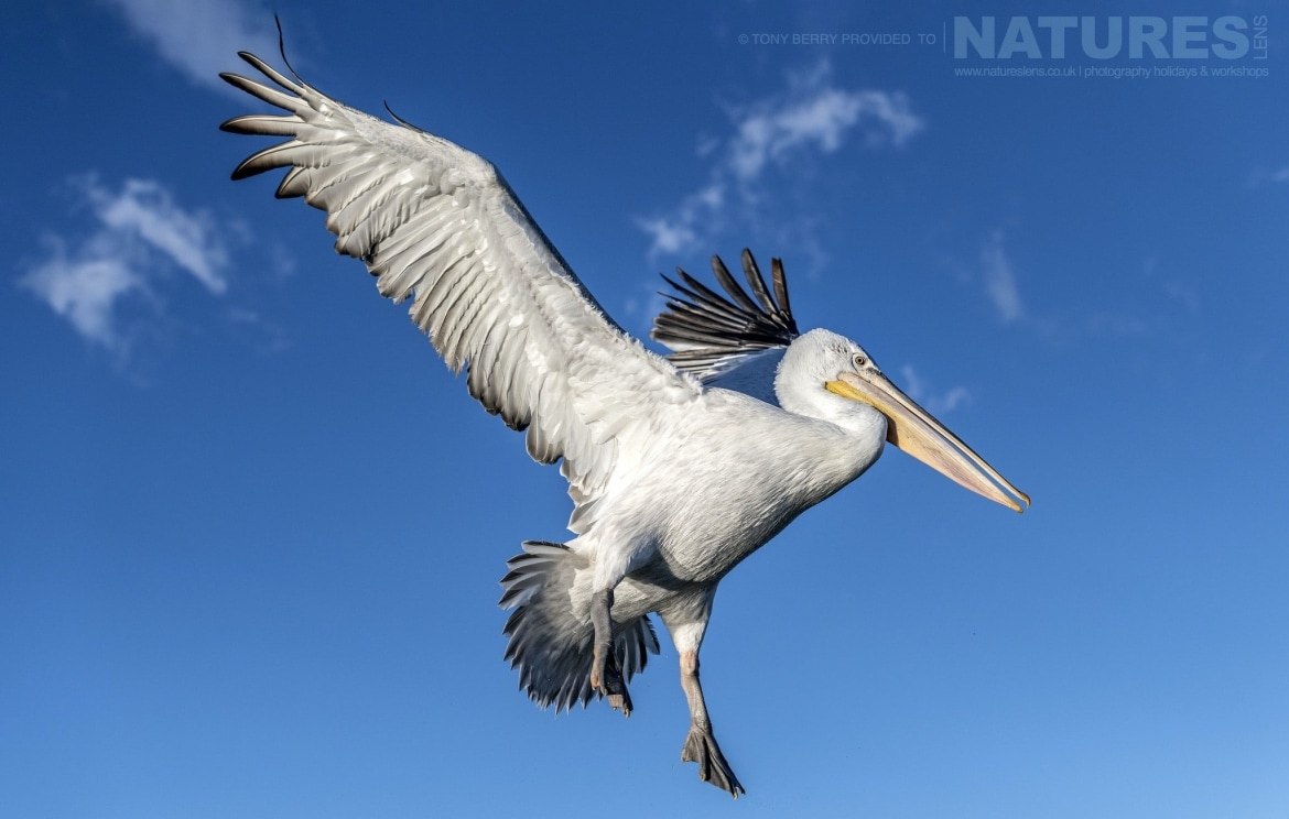 High above the boat one of Kerkinis pelicans against a perfect sky photographed by Tony Berry during one of the 2019 NaturesLens Dalmatian Pelicans of Lake Kerkini Photography Tours
