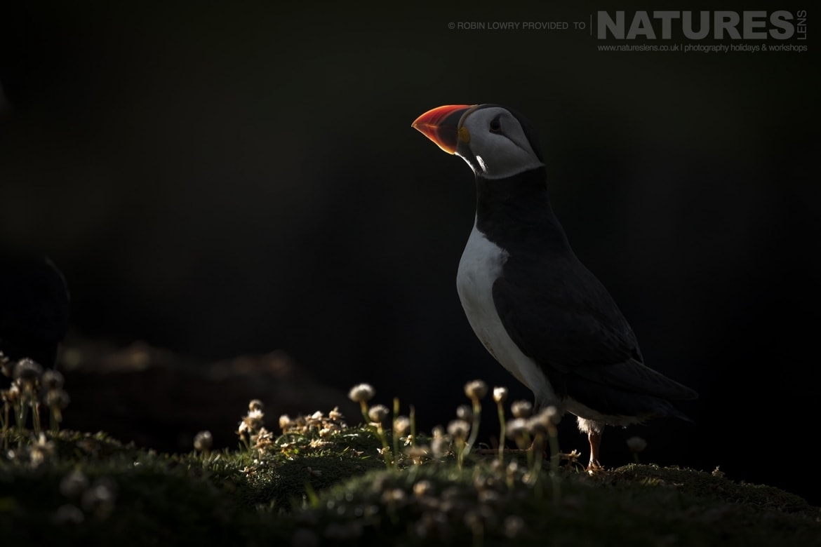 Illuminated in the last light of the day a puffin stands amongst the thrift on Fair Isle photographed during the NaturesLens Shetlands Puffins of Fair isle Photography Holiday