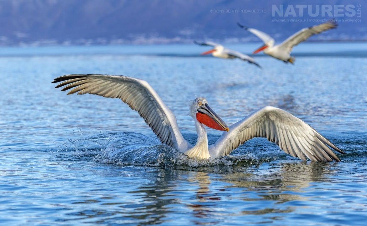 Landing with a splash one of Kerkins famous Dalmatian Pelicans photographed by Tony Berry during one of the 2019 NaturesLens Dalmatian Pelicans of Lake Kerkini Photography Tours
