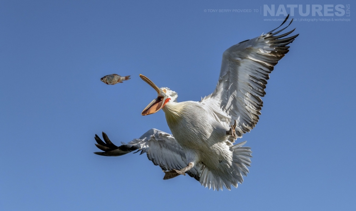 Mid Air fish catch by one of Kerkinis Dalmatian Pelicans photographed by Tony Berry during one of the 2019 NaturesLens Dalmatian Pelicans of Lake Kerkini Photography Tours