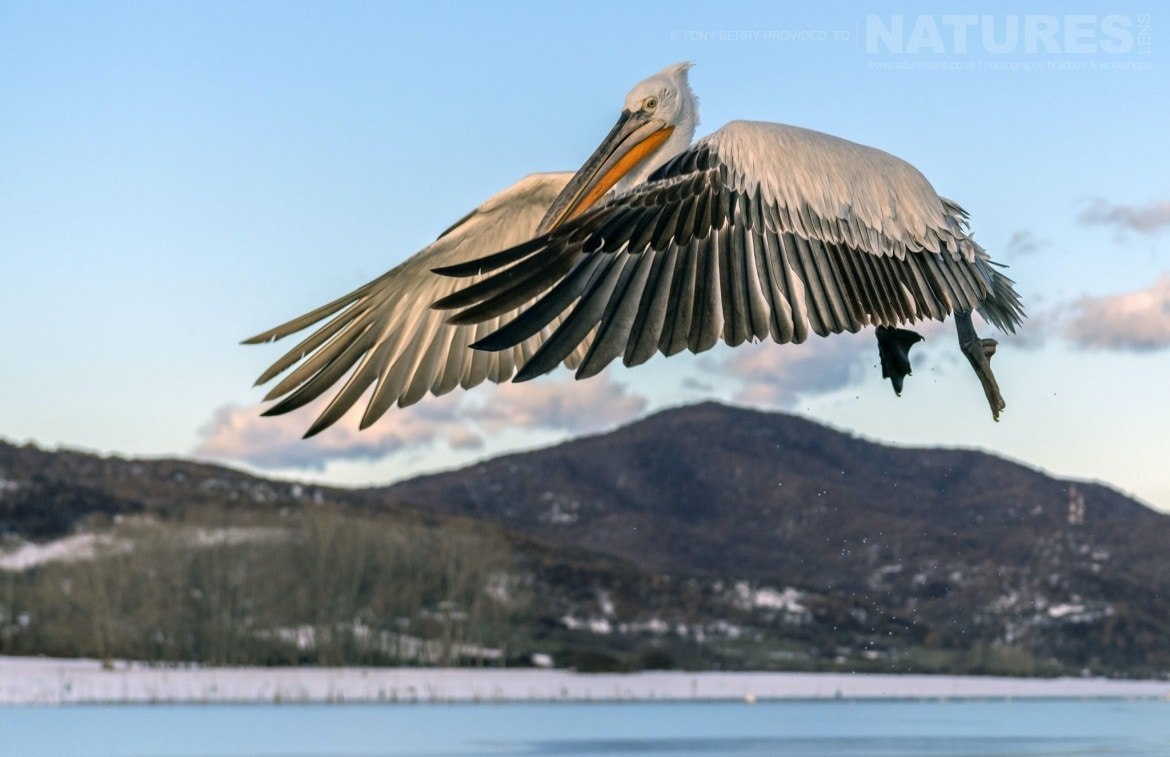 One of Kerkinis fabulous Dalmatian Pelicans comes in to land alongside the boat photographed by Tony Berry during one of the 2019 NaturesLens Dalmatian Pelicans of Lake Kerkini Photography Tours