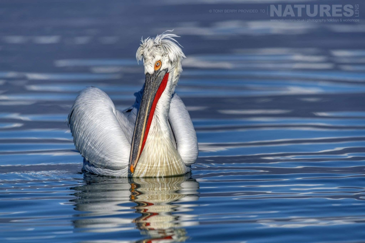 Reflected in the inky waters of Kerkini one of the Dalmatian Pelicans photographed by Tony Berry during one of the 2019 NaturesLens Dalmatian Pelicans of Lake Kerkini Photography Tours