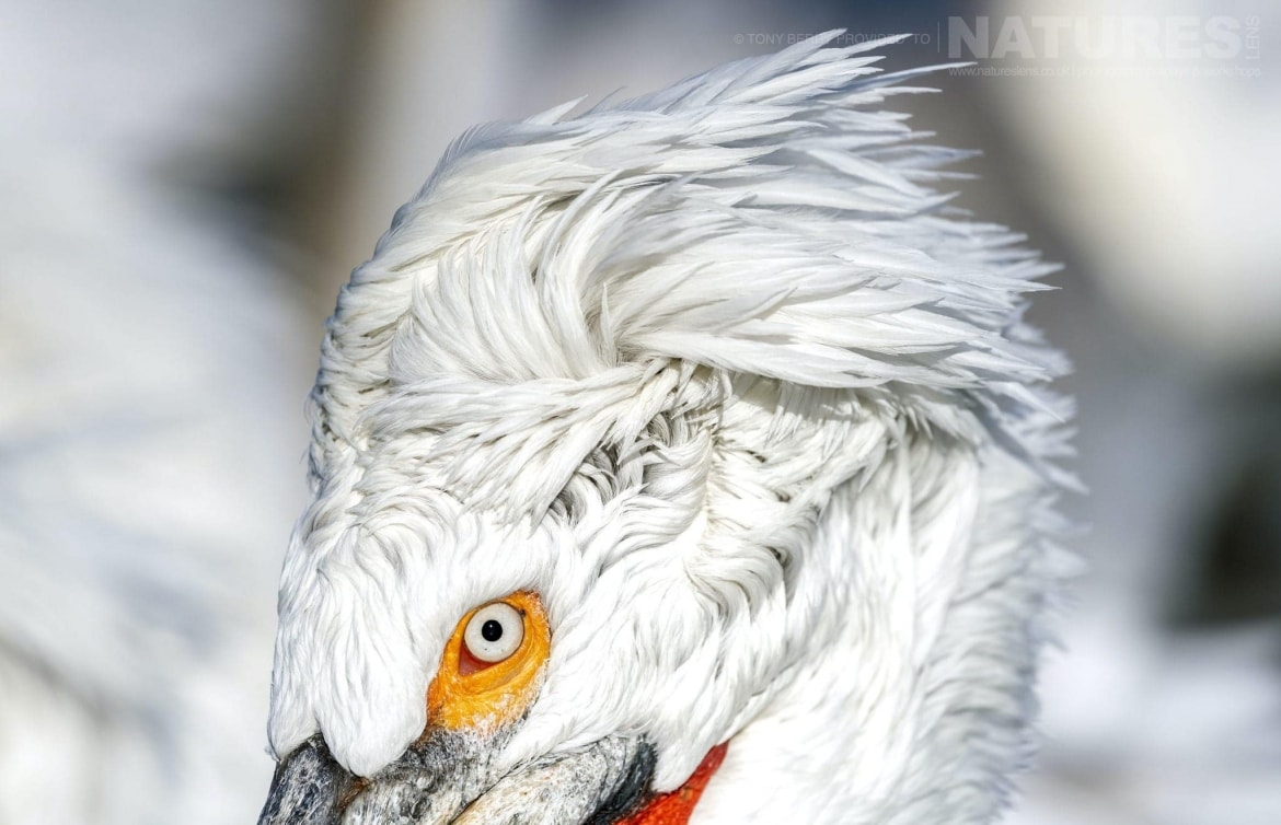 The punk hairdo of one of the Dalmatian Pelicans of Kerkini photographed by Tony Berry during one of the 2019 NaturesLens Dalmatian Pelicans of Lake Kerkini Photography Tours
