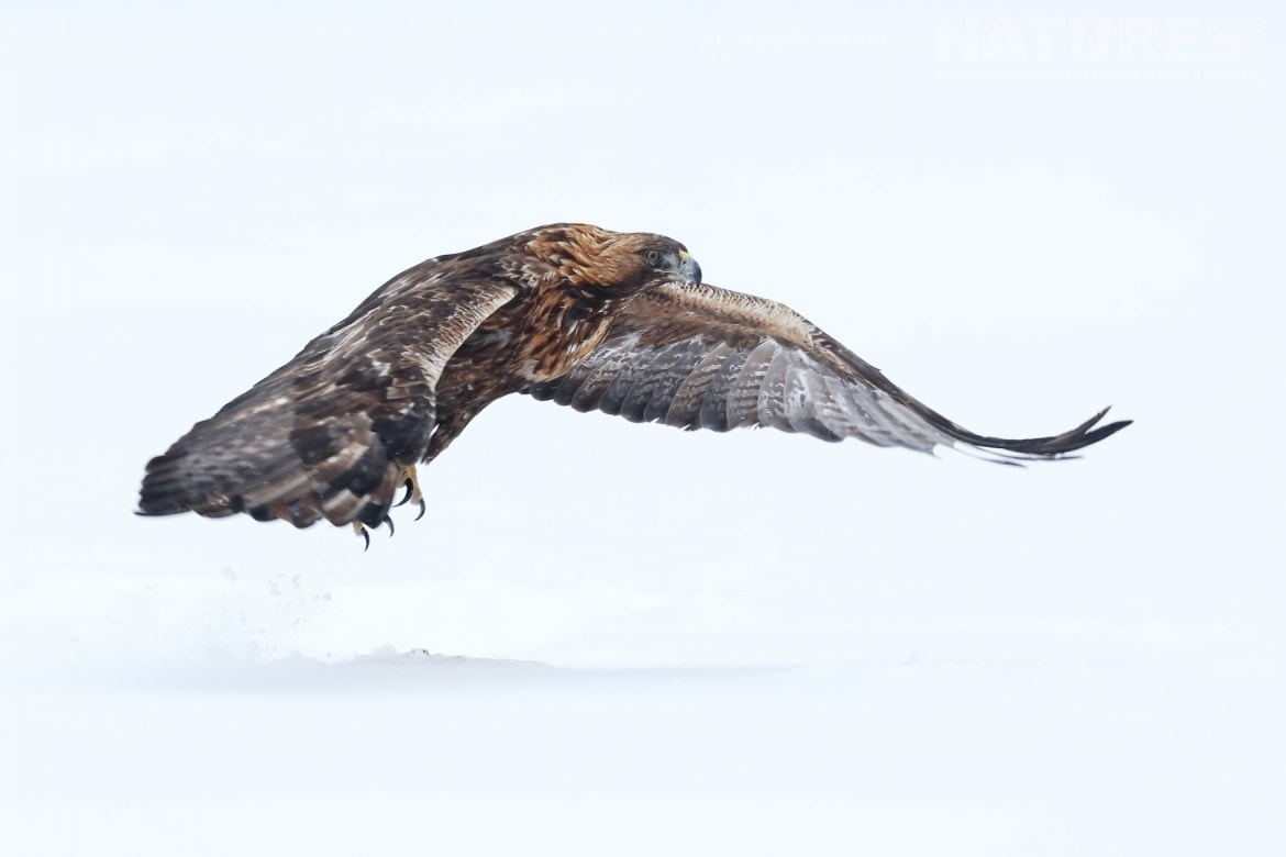 A Golden Eagle gliding across the snow this image was captured on the NaturesLens Golden Eagles of the Swedish Winter Photography Holiday