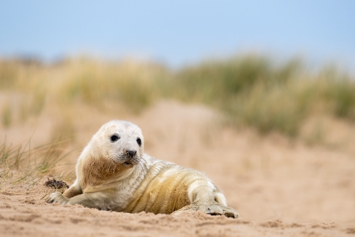 A Seal pup nestled within the sand dunes used for the NaturesLens Seals Pups of the Norfolk Coast photography holiday
