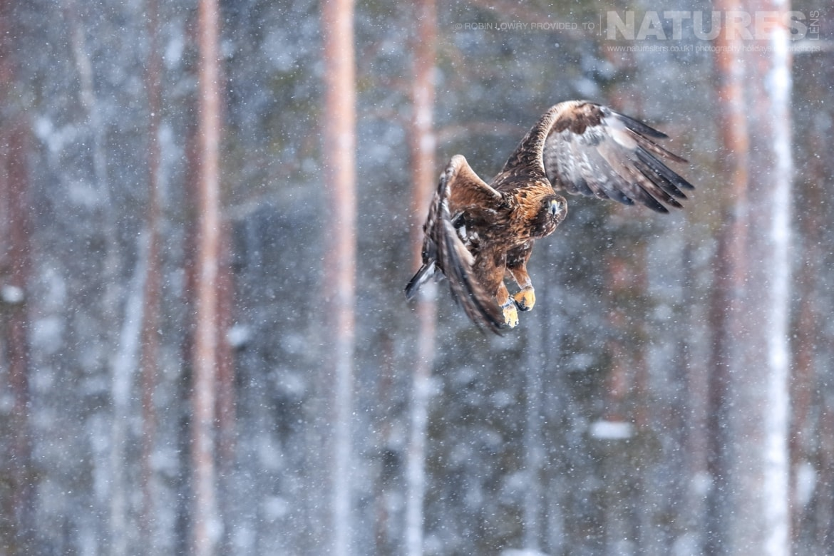 A golden eagle flies against the forest backdrop this image was captured on the NaturesLens Golden Eagles of the Swedish Winter Photography Holiday