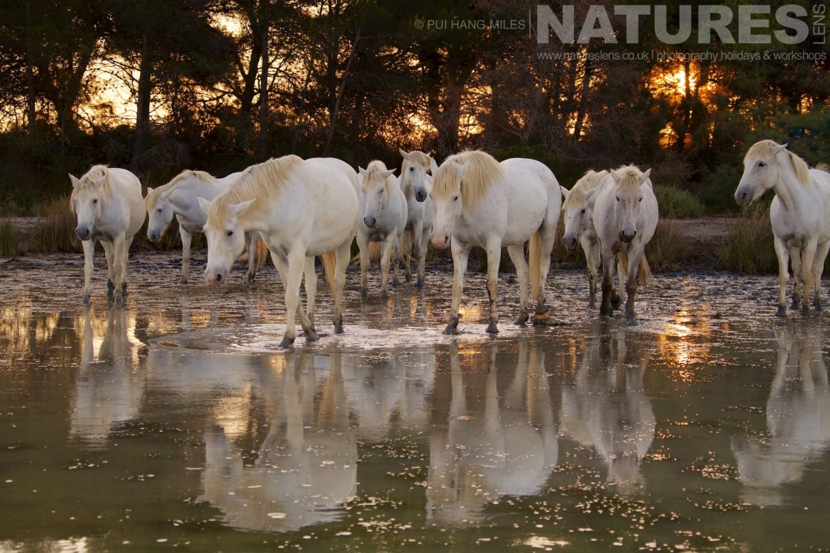 A herd of horses reflected in the salt marsh at dawn as captured during the NaturesLens White Horses of the Camargue Photography Holiday