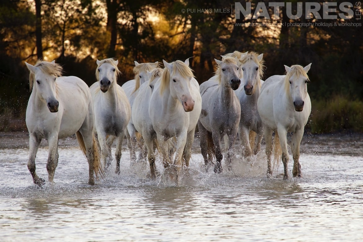 A herd of horses walking in a salt marsh captured during the White Horses of the Camargue photography tour led by NaturesLens