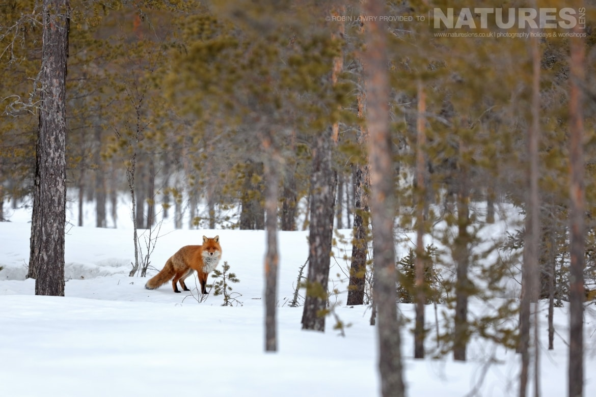 A red fox amongst the trees of the forest this image was captured on the NaturesLens Golden Eagles of the Swedish Winter Photography Holiday