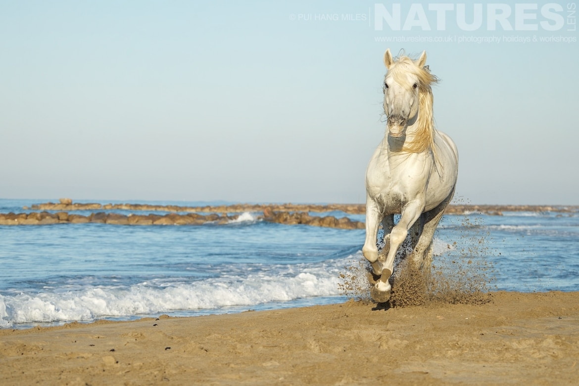 A white stallion galloping along the edge of the sea photographed during the NaturesLens White Horses of the Camargue Photography holiday