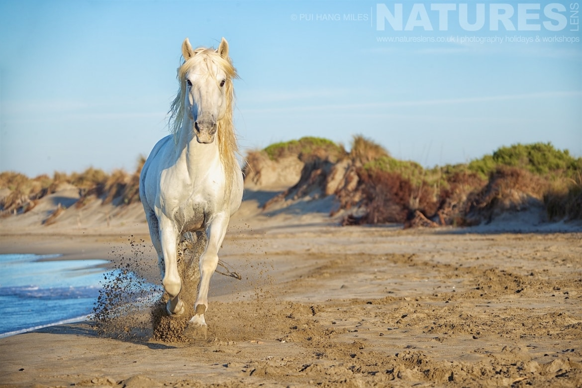 A white stallion running on the beach photographed during the White Horses of the Camargue Photography Holiday led by NaturesLens