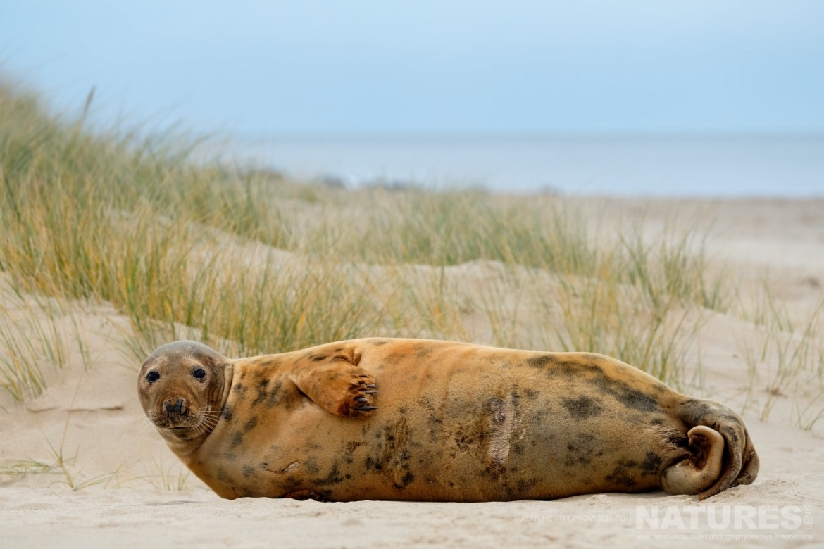 An Adult Seal nestled within the sand dunes used for the NaturesLens Seals Pups of the Norfolk Coast photography holiday