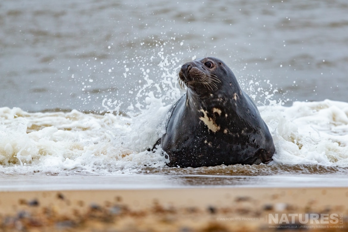 An Adult Seal plays by the breakwater on the beaches used for the NaturesLens Seals Pups of the Norfolk Coast photography holiday