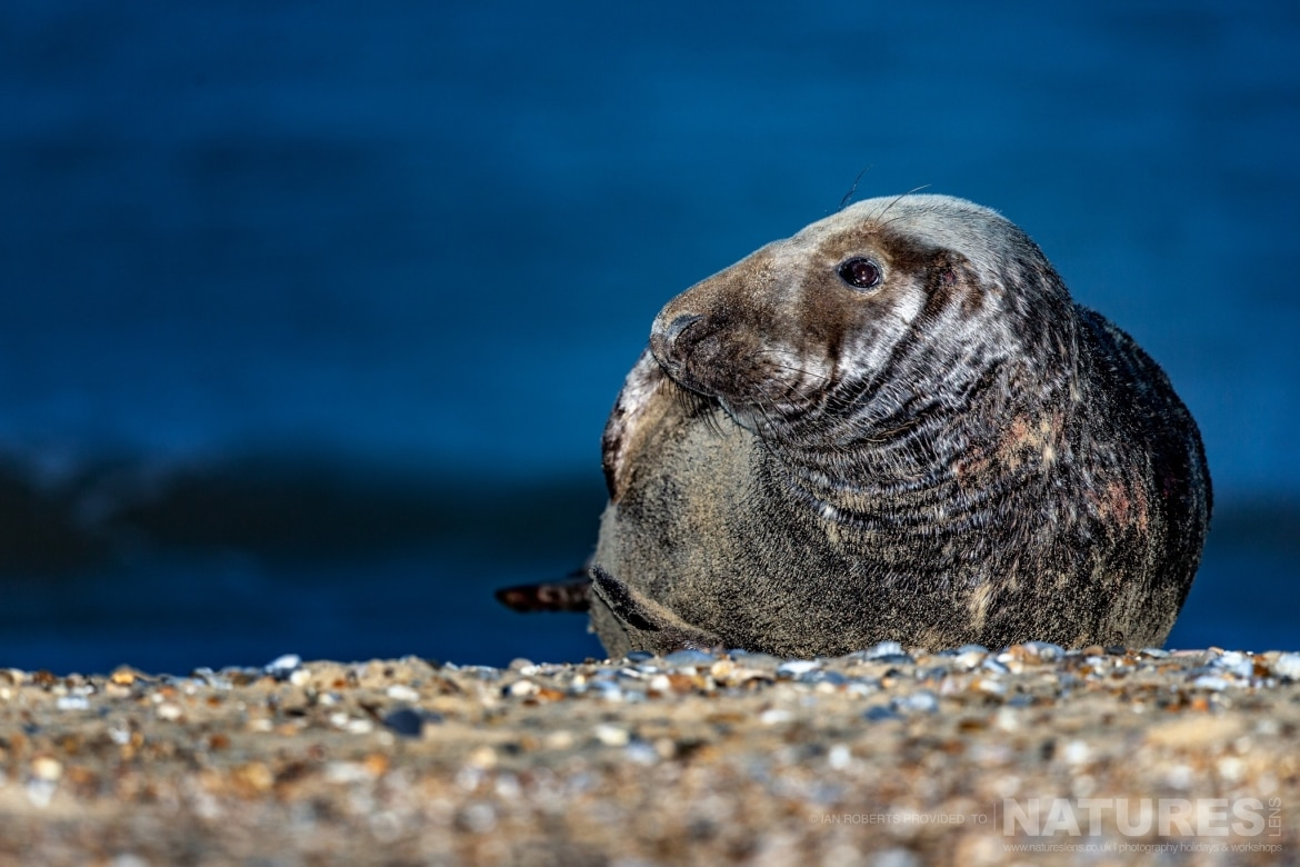 An Adult Seal rests by the edge of the surf on the beaches used for the NaturesLens Seals Pups of the Norfolk Coast photography holiday