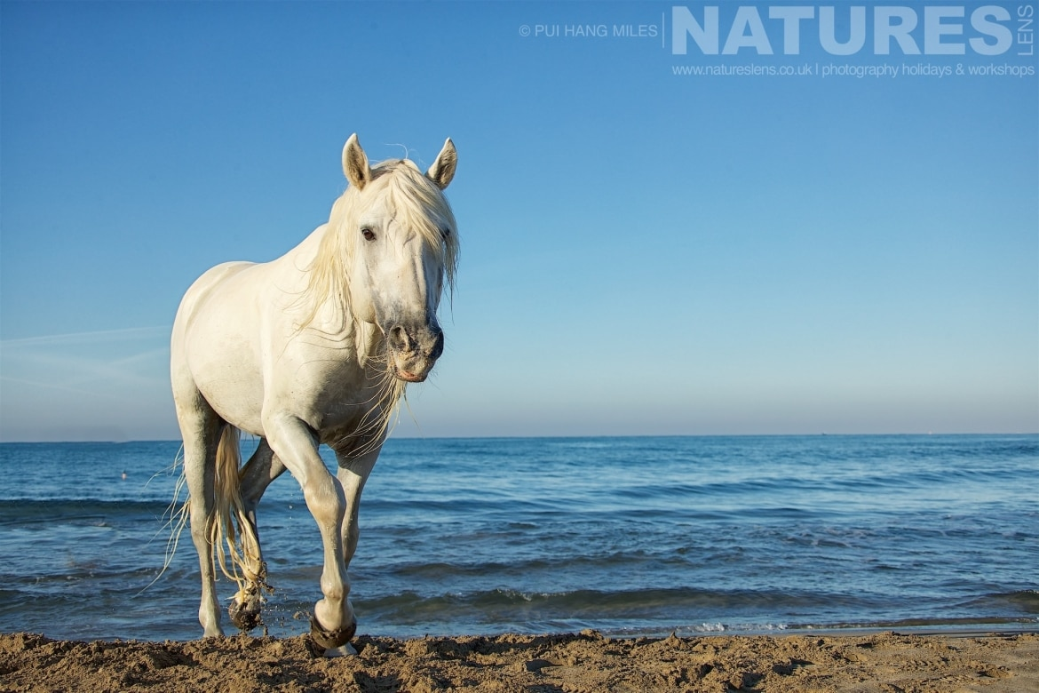An inquisitive stallion walks up the beach as photographed during the NaturesLens White Horses of the Camargue Photography Holiday