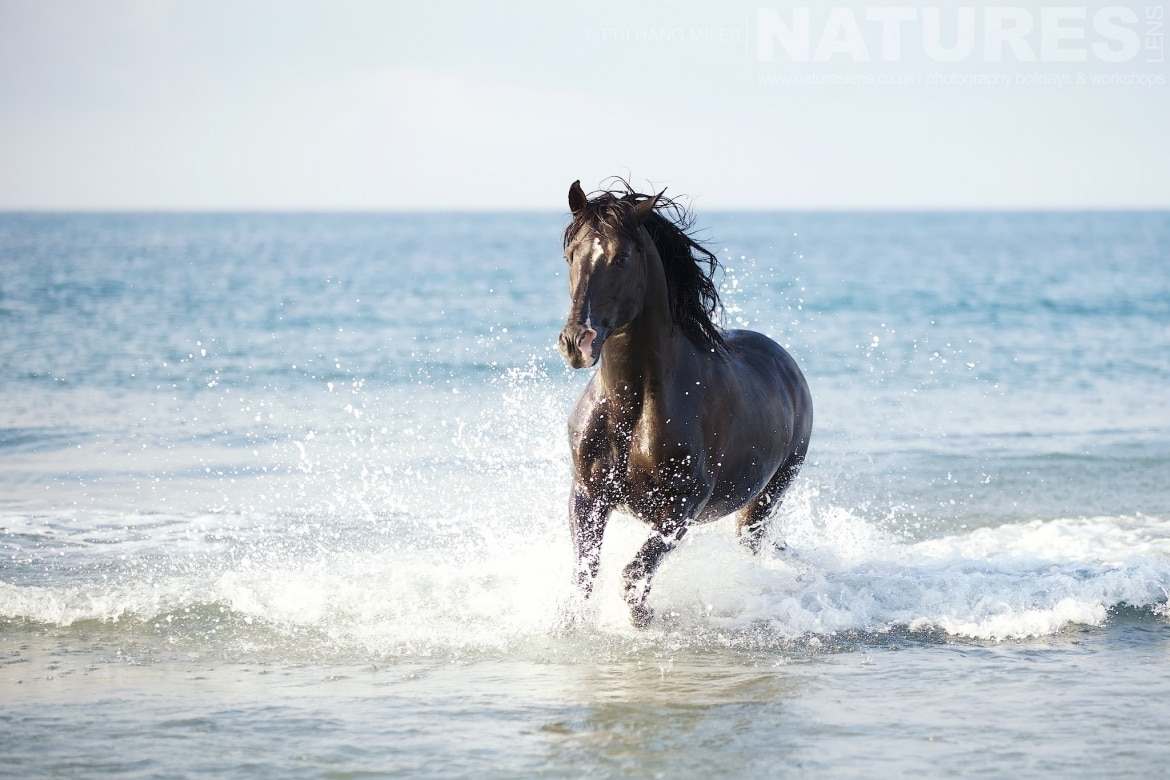 Black stallion running in the surf as photographed during the White Horses of the Camargue Photography Holiday led by NaturesLens