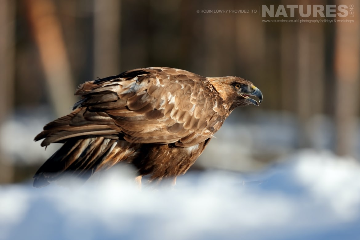 One of Golden Eagles photographed in Sweden this image was captured on the NaturesLens Golden Eagles of the Swedish Winter Photography Holiday