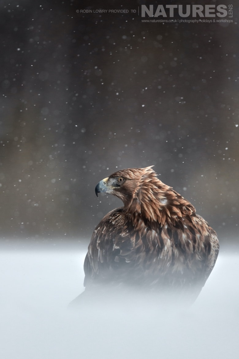 One of the impressive Golden Eagles photographed during a snow storm this image was captured on the NaturesLens Golden Eagles of the Swedish Winter Photography Holiday