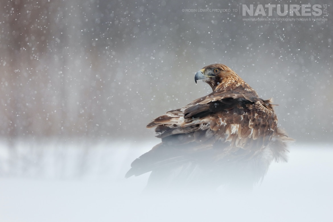 One of the massive Golden Eagles photographed during a snow storm this image was captured on the NaturesLens Golden Eagles of the Swedish Winter Photography Holiday