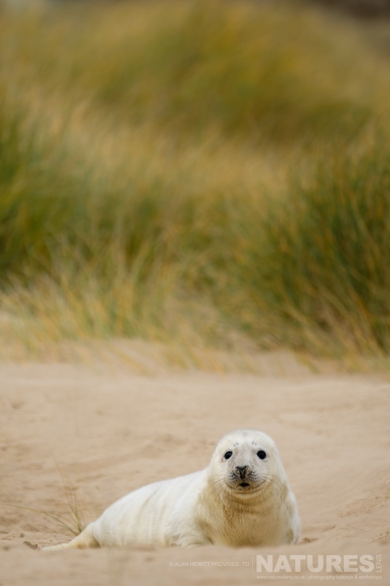 One of the seal pups nestled within the sand dunes used for the NaturesLens Seals Pups of the Norfolk Coast photography holiday