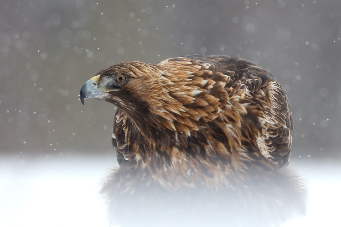 One of the stunning Golden Eagles photographed during a snow storm this image was captured on the NaturesLens Golden Eagles of the Swedish Winter Photography Holiday 1