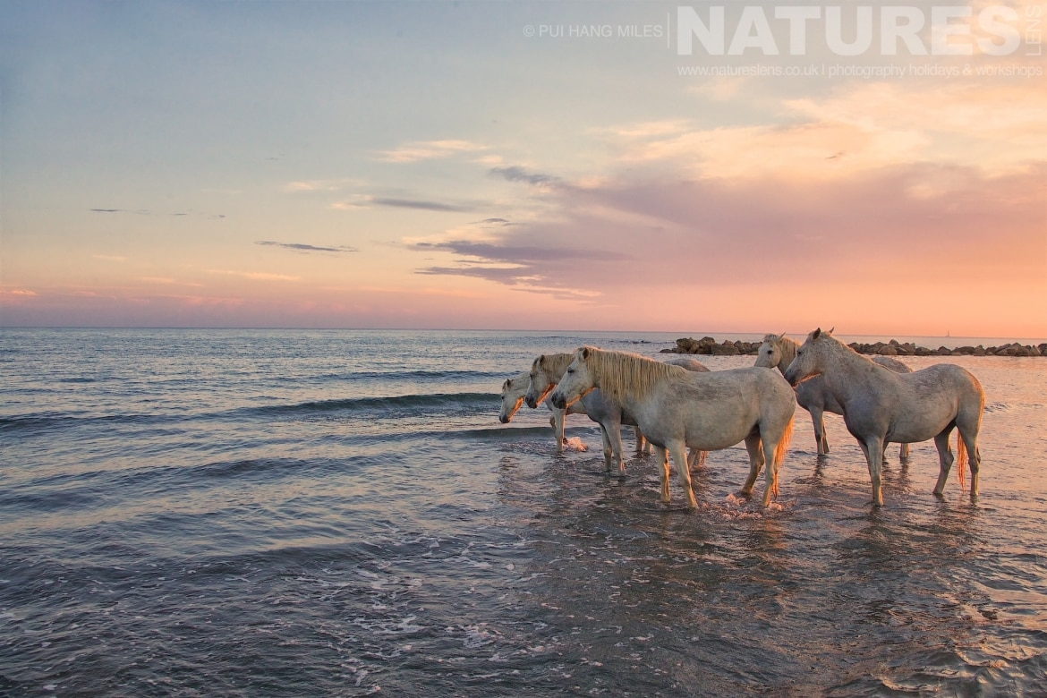 White stallions looking out to sea as captured during the NaturesLens White Horses of the Camargue Photography Holiday