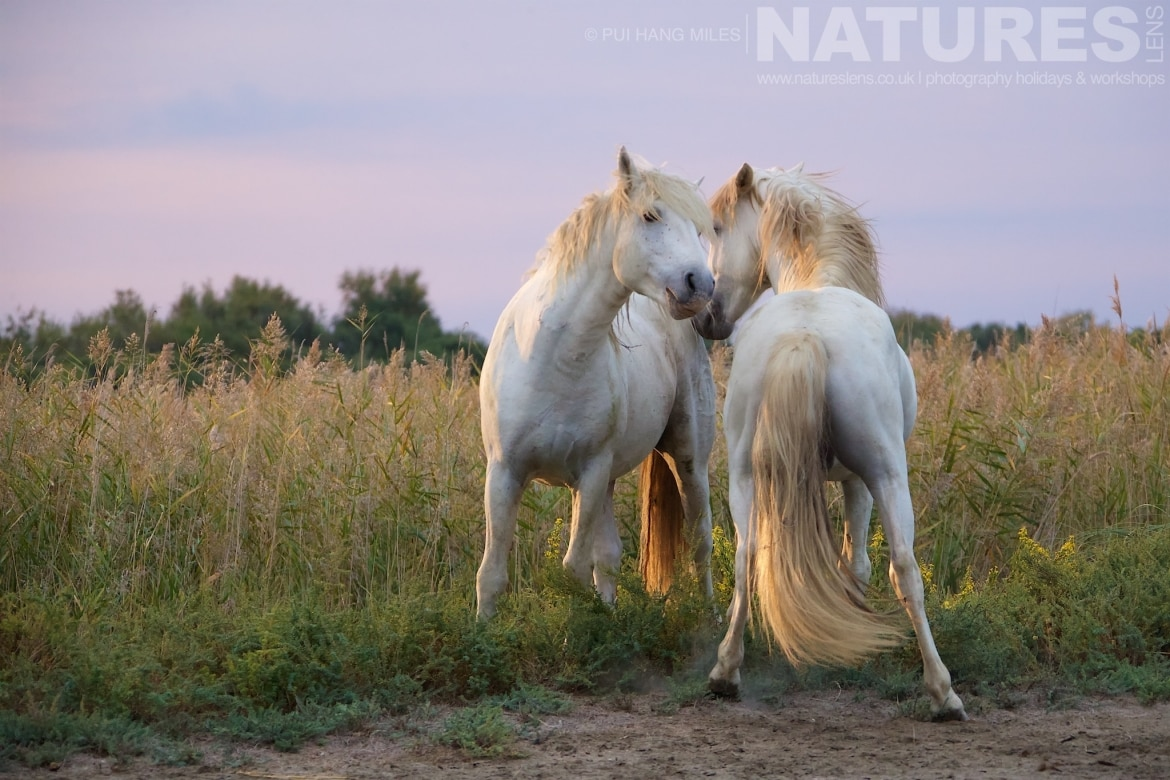 Young stallions head to head as captured during the NaturesLens White Horses of the Camargue Photography Holiday