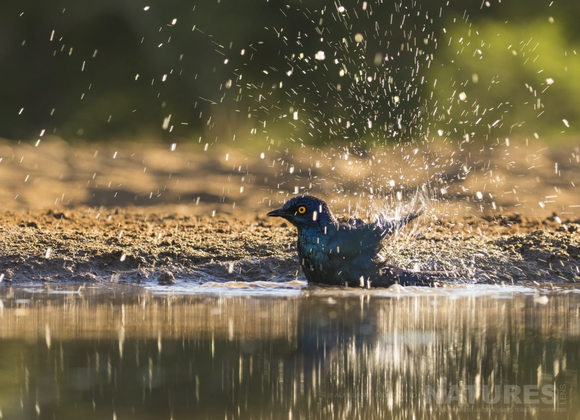 A Cape Glossy Starling taking a morning bath as captured during the Zimanga photography holiday run by NaturesLens