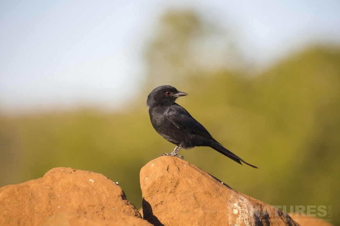 A Drongo perched on a stone wall as captured during the NaturesLens Zimanga photo tour