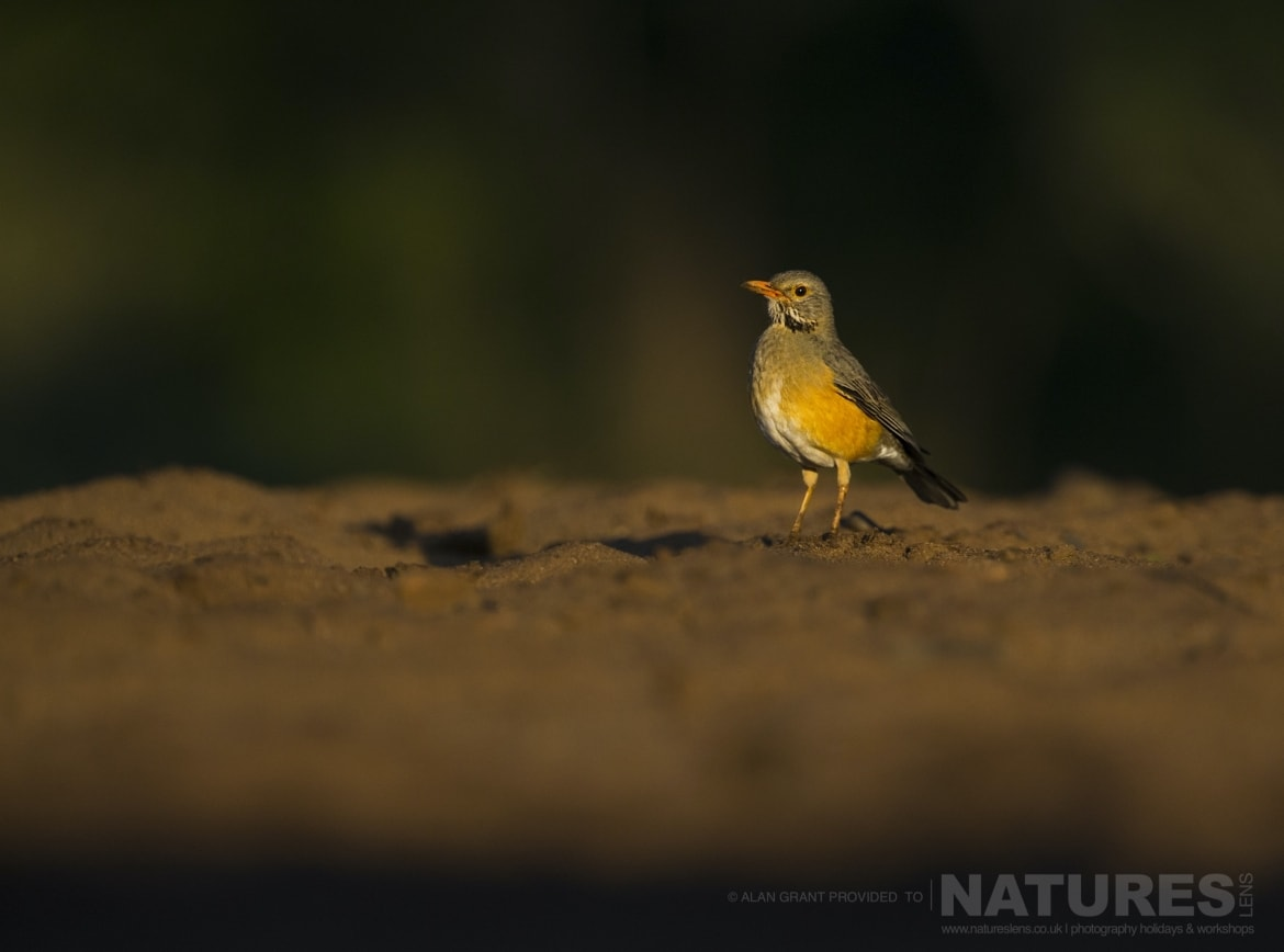 A Kurrichane Thrush as captured on the NaturesLens Zimanga photo safari