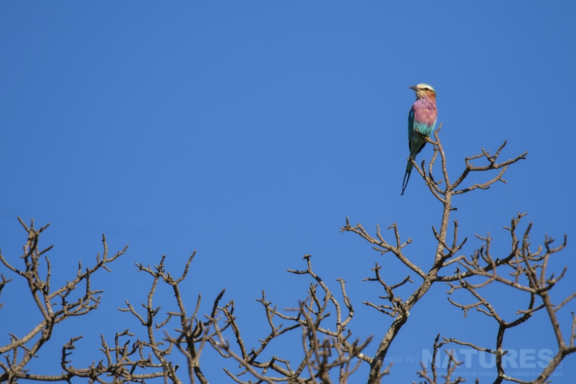 A Lilac Breasted Roller as photographed on the NaturesLens Zimanga photo tour