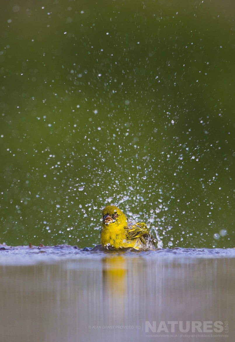 A Spectacled Weaver taking a bath during the NaturesLens Zimanga photo safari